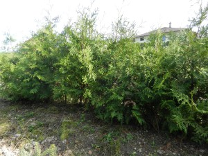zerav-zapadni---thuja-occidentalis--3-.jpg